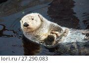 Купить «Kalan Sea otter in water», фото № 27290083, снято 4 июля 2016 г. (c) Serg Zastavkin / Фотобанк Лори