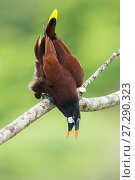 Montezuma oropendola (Psarocolius montezuma) calling, Costa Rica. Стоковое фото, фотограф Guy Edwardes / Nature Picture Library / Фотобанк Лори