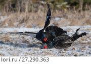 Купить «Black Grouse (Lyrurus tetrix), males fighting at breeding-ground, Finland, April.», фото № 27290363, снято 18 января 2018 г. (c) Nature Picture Library / Фотобанк Лори