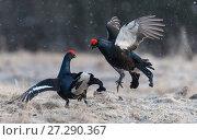 Купить «Black grouse (Lyrurus tetrix), males fighting at lek, Finland, April.», фото № 27290367, снято 18 января 2018 г. (c) Nature Picture Library / Фотобанк Лори