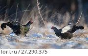 Купить «Black grouse (Lyrurus tetrix), males fighting at lek, Finland, April.», фото № 27290375, снято 25 апреля 2018 г. (c) Nature Picture Library / Фотобанк Лори