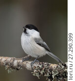 Купить «Willow tit (Parus montanus) perched, Finland, February.», фото № 27290399, снято 17 августа 2018 г. (c) Nature Picture Library / Фотобанк Лори