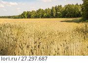 Купить «Поле посевной ржи (Secale cereale)», фото № 27297687, снято 27 июля 2017 г. (c) Алёшина Оксана / Фотобанк Лори