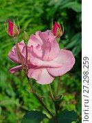 Купить «Розовая роза с бутонами», фото № 27298259, снято 26 июля 2017 г. (c) Елена Коромыслова / Фотобанк Лори