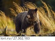 Купить «Grizzly bear (Ursus arctos)- Feeding on a sockeye salmon run, Chilcotin Wilderness, BC Interior, Canada.», фото № 27302183, снято 2 октября 2016 г. (c) age Fotostock / Фотобанк Лори