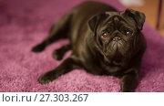 Купить «French Bulldog on the Carpet», видеоролик № 27303267, снято 16 февраля 2017 г. (c) Илья Шаматура / Фотобанк Лори