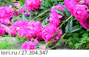 Купить «Large flowers of pink peonies lie on Earth.», видеоролик № 27304347, снято 23 июня 2017 г. (c) Володина Ольга / Фотобанк Лори