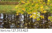 Купить «Осенняя ветка клена над водоемом», видеоролик № 27313423, снято 17 октября 2017 г. (c) Виктор Карасев / Фотобанк Лори