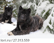 Купить «American Akita dogs», фото № 27313559, снято 9 декабря 2017 г. (c) Алексей Кузнецов / Фотобанк Лори