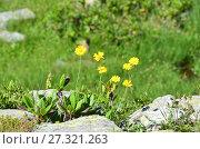 Купить «Arnica iljinii (Maguire) Iljin (семейство Asteraceae)Арника Ильина», фото № 27321263, снято 2 августа 2017 г. (c) Овчинникова Ирина / Фотобанк Лори