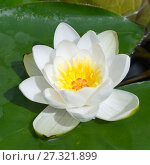 Купить «Белая кувшинка, или водяная лилия (лат. Nymphaea alba)», фото № 27321899, снято 22 июля 2017 г. (c) Елена Коромыслова / Фотобанк Лори