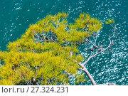 Купить «Pine tree on sea water background.», фото № 27324231, снято 5 июня 2017 г. (c) Юрий Брыкайло / Фотобанк Лори