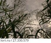Common wild oat Avena fatua. Стоковое фото, фотограф E.A. Janes / age Fotostock / Фотобанк Лори