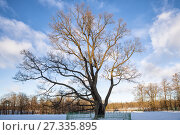 Купить «Old Oak in Gatchina Park, winter», фото № 27335895, снято 21 января 2017 г. (c) Юлия Бабкина / Фотобанк Лори