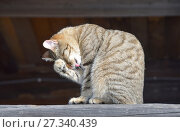 Купить «Серый полосатый дворовый кот умывается на мартовском солнышке», фото № 27340439, снято 2 марта 2017 г. (c) Овчинникова Ирина / Фотобанк Лори