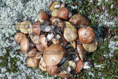 Купить «Кучка свежесрезанных диких лесных съедобных грибов», фото № 27342091, снято 26 августа 2012 г. (c) А. А. Пирагис / Фотобанк Лори