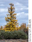 Купить «Хвойный лес на Камчатке», фото № 27346435, снято 2 октября 2016 г. (c) А. А. Пирагис / Фотобанк Лори