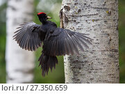 Купить «Black woodpecker (Dryocopus martius) landing outside nest, Valga County, Estonia. April. Highly commended in the Portfolio category of the Terre Sauvage Nature Images Awards 2017.», фото № 27350659, снято 20 февраля 2018 г. (c) Nature Picture Library / Фотобанк Лори