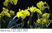 Купить «Iris pseudacorus yellow flag, yellow iris, water flag, lever is a species in the genus Iris, of the family Iridaceae», видеоролик № 27357707, снято 10 ноября 2009 г. (c) Куликов Константин / Фотобанк Лори