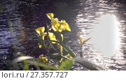 Купить «Iris pseudacorus yellow flag against the background of the sun which is reflected in water , yellow iris, water flag, lever is a species in the genus Iris, of the family Iridaceae», видеоролик № 27357727, снято 10 ноября 2009 г. (c) Куликов Константин / Фотобанк Лори