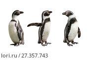 Купить «Три пингвина  Гумбольдта на белом фоне изолировано», фото № 27357743, снято 9 сентября 2014 г. (c) Наталья Волкова / Фотобанк Лори