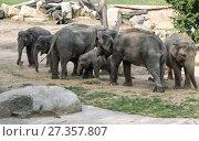 Купить «Семья азиатский слонов (Elephas maximus) - самки с детёнышами», фото № 27357807, снято 9 сентября 2014 г. (c) Наталья Волкова / Фотобанк Лори