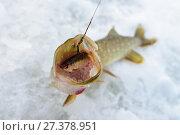 Купить «Just caught Pike with small bait fish in its mouth, ice winter fishing», фото № 27378951, снято 4 января 2018 г. (c) Сергей Дорошенко / Фотобанк Лори