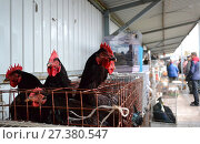 Black chickens sold at pet market. Стоковое фото, фотограф Андрей Силивончик / Фотобанк Лори