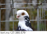 Purebred white-rock dove in a cage, close-up. Стоковое фото, фотограф Андрей Силивончик / Фотобанк Лори