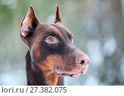 Купить «Крупный план головы собаки добермана», фото № 27382075, снято 9 января 2018 г. (c) Кекяляйнен Андрей / Фотобанк Лори