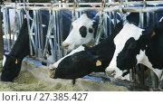 Modern farm cowshed with milking cows eating hay. Стоковое видео, видеограф Яков Филимонов / Фотобанк Лори