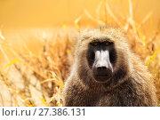 Portrait of adult Olive baboon in Kenyan savannah. Стоковое фото, фотограф Сергей Новиков / Фотобанк Лори