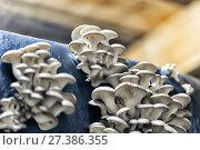 Organic mushroom farm. Mushrooms growing on the farm. Стоковое фото, фотограф Евгений Ткачёв / Фотобанк Лори