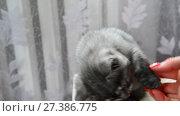 Купить «Female hand strokes a gray kitten of British breed.», видеоролик № 27386775, снято 13 июня 2017 г. (c) Володина Ольга / Фотобанк Лори