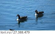 Купить «Water birds - ducks swimming in lake - central park, New York», видеоролик № 27388479, снято 25 апреля 2018 г. (c) Константин Шишкин / Фотобанк Лори