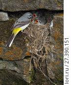 Купить «Grey wagtail (Motacilla cinerea) male at nest  feeding young, Upper Teesdale, Co Durham, England, UK, June», фото № 27390151, снято 18 августа 2018 г. (c) Nature Picture Library / Фотобанк Лори