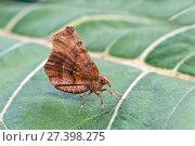 Купить «Early thorn moth (Selenia dentaria) on leaf, Dorset, England, UK, July.», фото № 27398275, снято 27 мая 2018 г. (c) Nature Picture Library / Фотобанк Лори