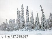 Купить «В снежном лесу. Карелия. Россия», фото № 27398687, снято 13 января 2018 г. (c) Наталья Осипова / Фотобанк Лори