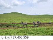 Zebras in Ngorongoro, Tanzania, Africa (2008 год). Стоковое фото, фотограф Знаменский Олег / Фотобанк Лори