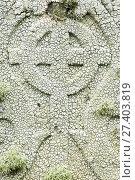 Купить «Crawfish lichen (Ochrolechia parella) on a gravestone, Unst, Shetland Islands, Scotland, August.», фото № 27403819, снято 21 августа 2018 г. (c) Nature Picture Library / Фотобанк Лори
