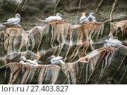 Купить «Northern gannet (Morus bassanus) breeding colony on a cliff, Noss NNR, Shetland, Scotland, UK», фото № 27403827, снято 22 июля 2018 г. (c) Nature Picture Library / Фотобанк Лори