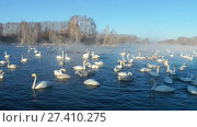 Купить «Swans on lake in the morning mist at early morning», видеоролик № 27410275, снято 18 марта 2016 г. (c) Serg Zastavkin / Фотобанк Лори