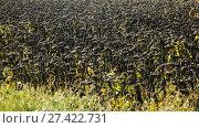 Купить «Image of fields of sunflowers in Romania.», видеоролик № 27422731, снято 6 октября 2017 г. (c) Яков Филимонов / Фотобанк Лори