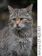 European wildcat portrait close up. Стоковое фото, фотограф Anton Eine / Фотобанк Лори