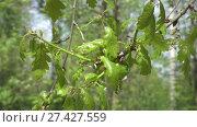 Купить «fresh young green oak leaves in bright sun light, prores footage», видеоролик № 27427559, снято 23 ноября 2009 г. (c) Куликов Константин / Фотобанк Лори