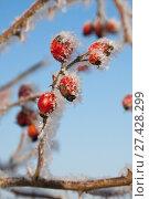 Шиповник зимой в инее. Стоковое фото, фотограф Владимир Судник / Фотобанк Лори