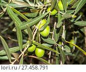 Купить «Olives on an olive tree at autumn», фото № 27458791, снято 13 ноября 2019 г. (c) age Fotostock / Фотобанк Лори