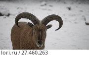 Купить «Barbary sheep (Ammotragus lervia)», видеоролик № 27460263, снято 28 декабря 2017 г. (c) BestPhotoStudio / Фотобанк Лори