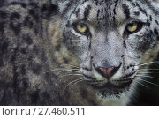 RF - Snow leopard (Panthera uncia) portrait, captive. (This image may be licensed either as rights managed or royalty free.) Стоковое фото, фотограф Edwin Giesbers / Nature Picture Library / Фотобанк Лори