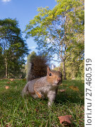 RF - Grey Squirrel (Sciurus carolinensis), low angle view, St James Park, London (This image may be licensed either as rights managed or royalty free.) Стоковое фото, фотограф Edwin Giesbers / Nature Picture Library / Фотобанк Лори